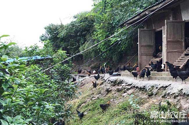 厦门果园土鸡养殖基地