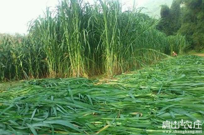 四川竹鼠吃的芒草