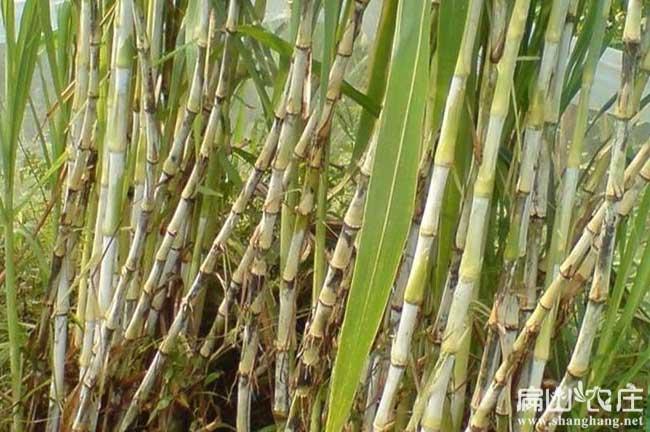 扬州竹鼠繁殖场像草