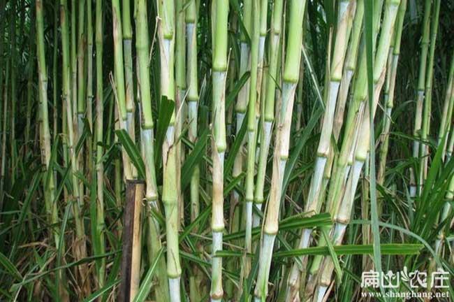 扁山皇竹草竹鼠吃的