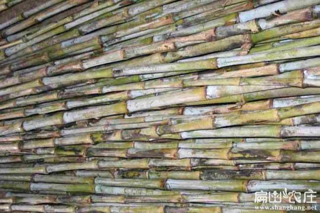 怀化皇竹草种植