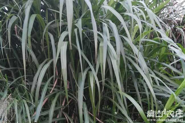 贵州皇竹草种子批发