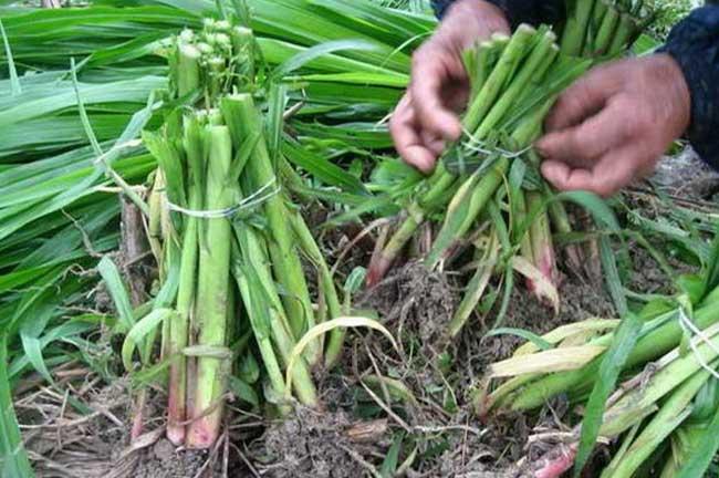 龙岩皇竹草种植