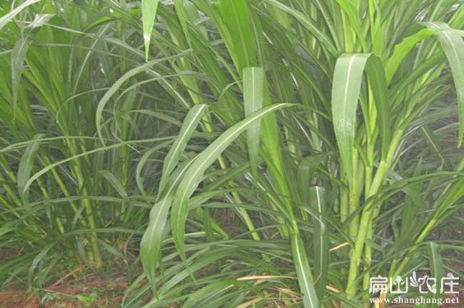 贵港竹鼠甜象草种植