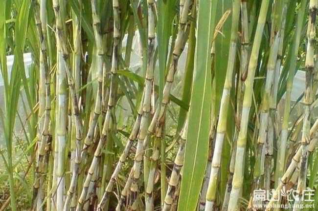 肠胃炎竹鼠多吃皇竹草