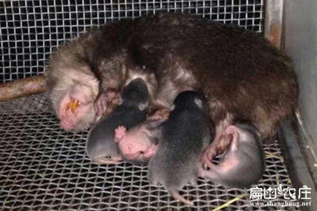 梅州竹鼠养殖基地