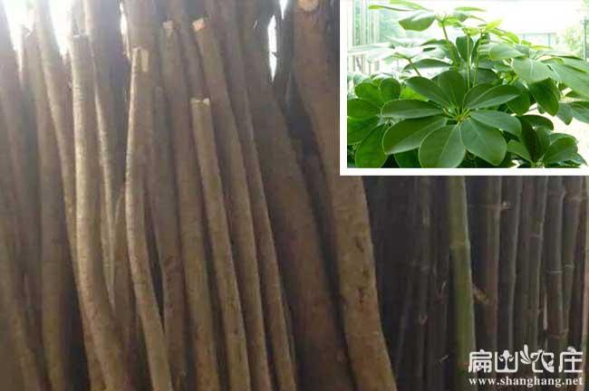 贵州竹鼠吃的鸭脚木