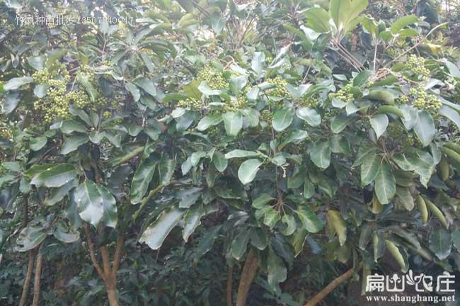 北流鸭架木种植基地