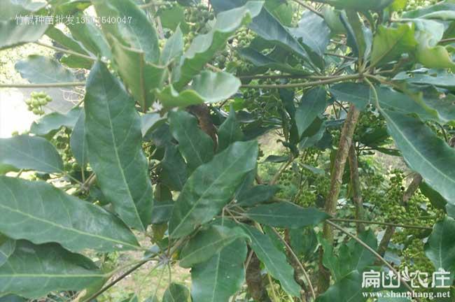 玉林鸭脚木种植