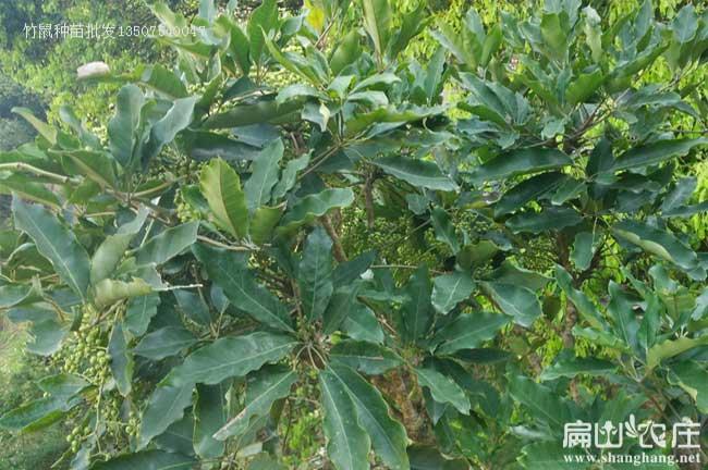 四川竹鼠鸭脚木