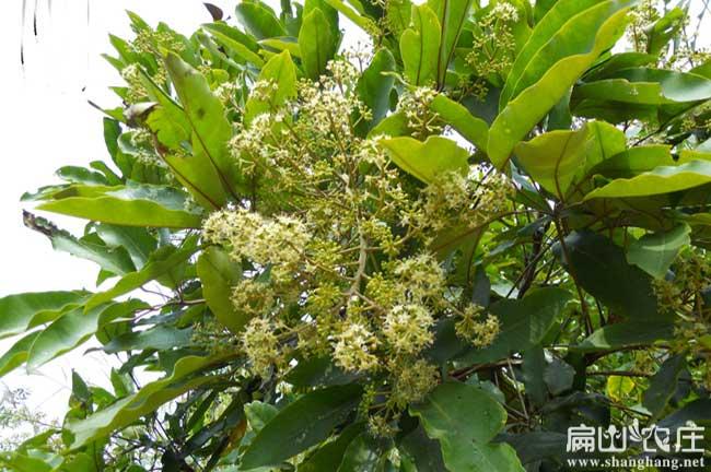 广元鸭架木种植
