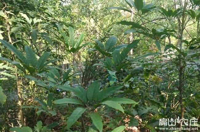 邕宁鸭脚木种植