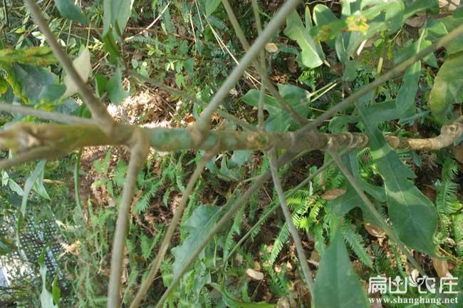 福建鸭脚木种植技术交流微