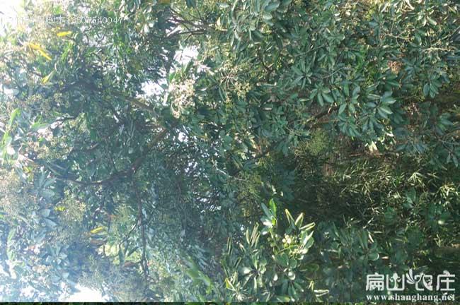 贵州竹鼠肠炎中药鸭脚木