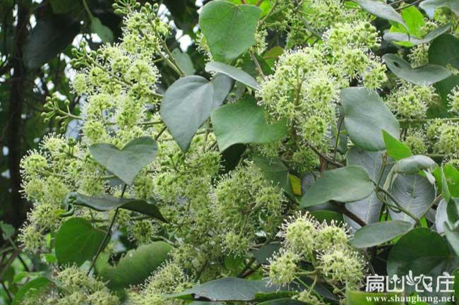 横县鸭脚木种植