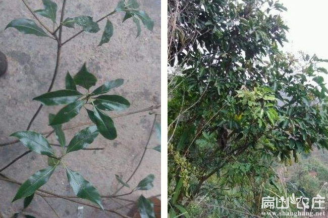 耒阳鸭脚木种植