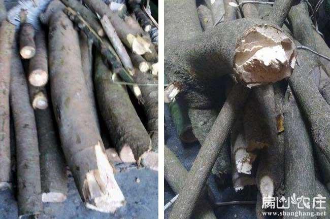 中华竹鼠鸭脚木种植