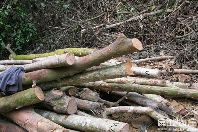 竹鼠鸭脚木