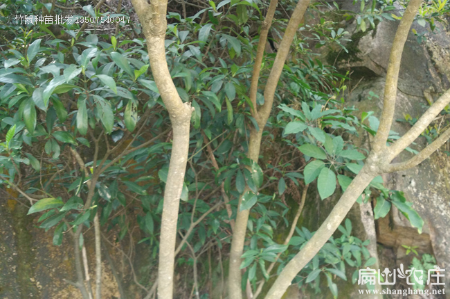 四川竹鼠饲料鸭脚木