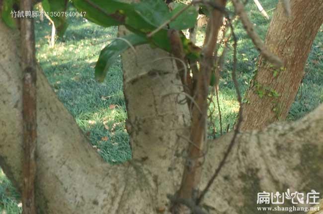 福建鸭架木种植