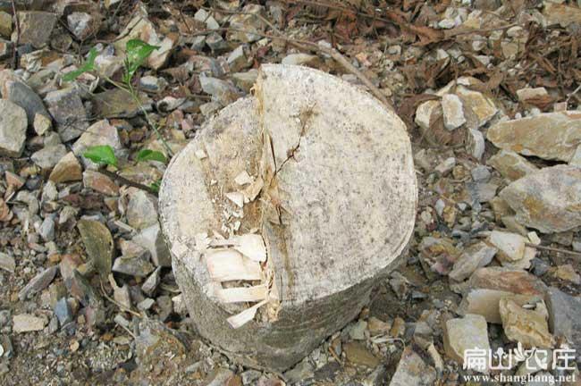 福州鸭脚木
