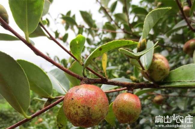 泸州茶籽回收