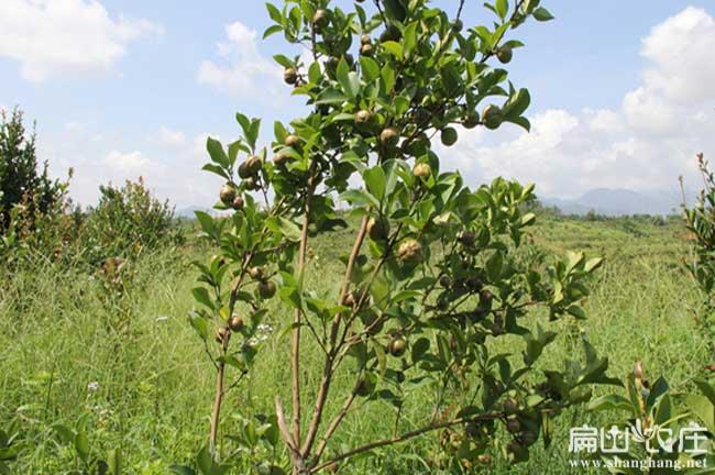 泸州茶籽收购