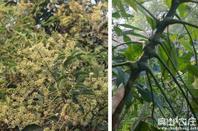 灌阳鸭架木种植