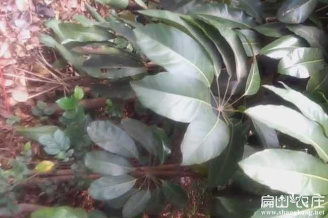 广西最好的鸭脚木种植