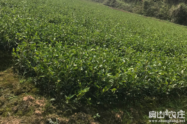泸州油茶基地