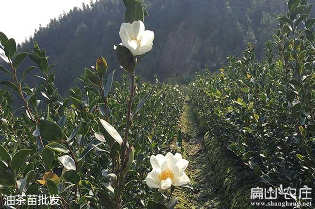 咸宁最大中油茶基地