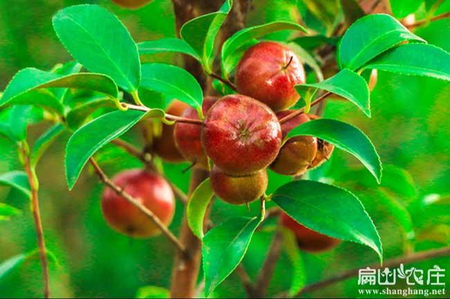 最漂亮的油茶油茶果子