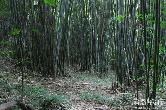 竹鼠吃的竹子