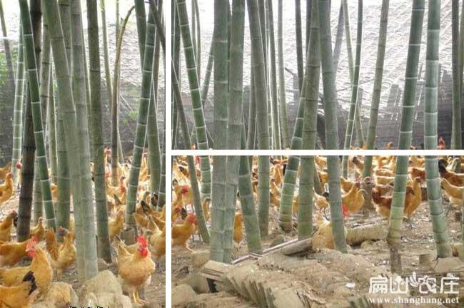 林下土鸡散养分类