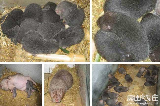 前所未见的竹鼠养殖方法