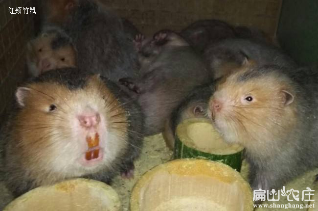 鹿寨中华竹鼠