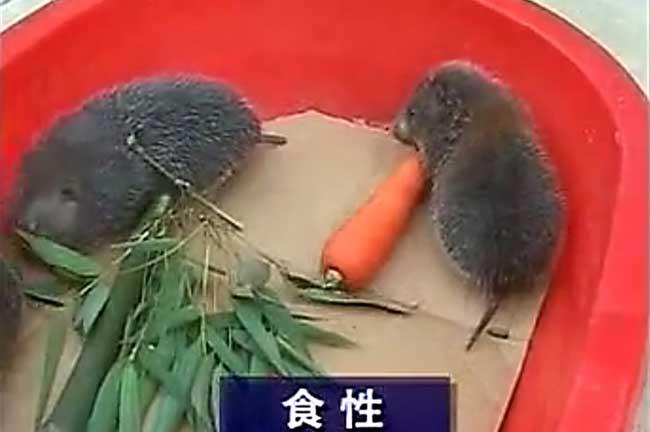 竹鼠养殖最佳方法