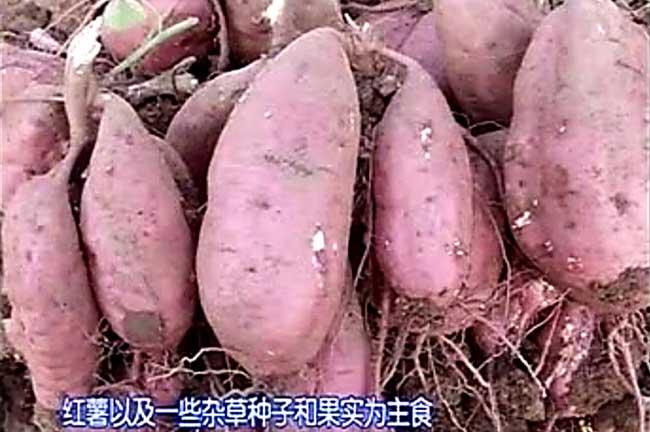 湘潭竹鼠吃地瓜