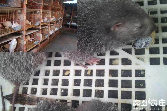 竹鼠运输小心