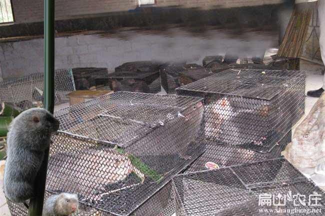 中国竹鼠销售联盟