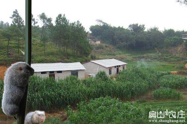 什邡白竹鼠竹鼠养殖