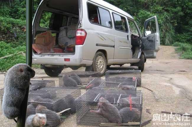 吉安竹鼠养殖