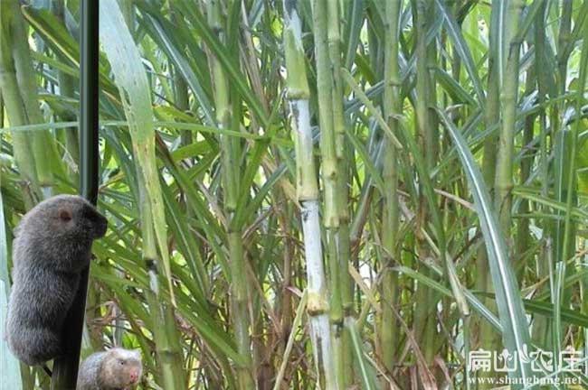 合浦甜象草种植