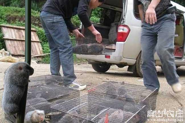 竹鼠养殖销售
