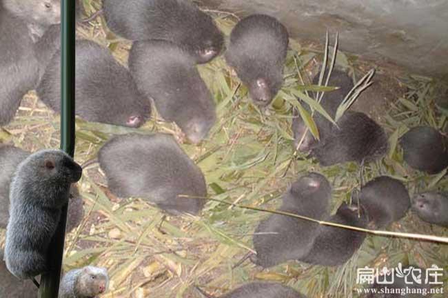 广元最大的竹鼠养殖合作社