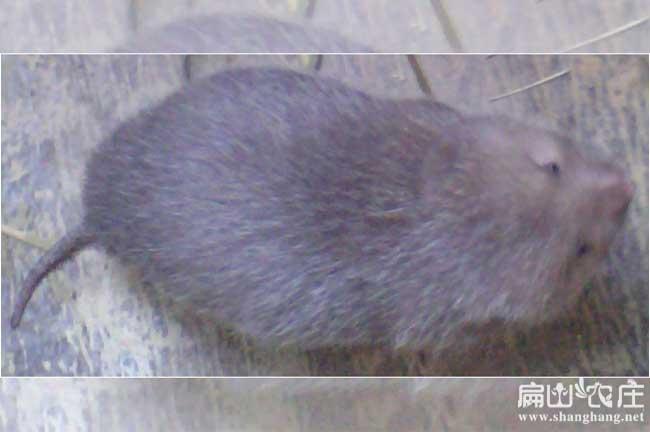 南宁的竹鼠种苗批发