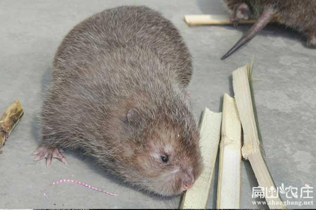 济南竹鼠最大中养殖基地
