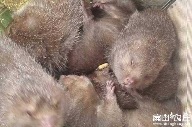 高产竹鼠种苗