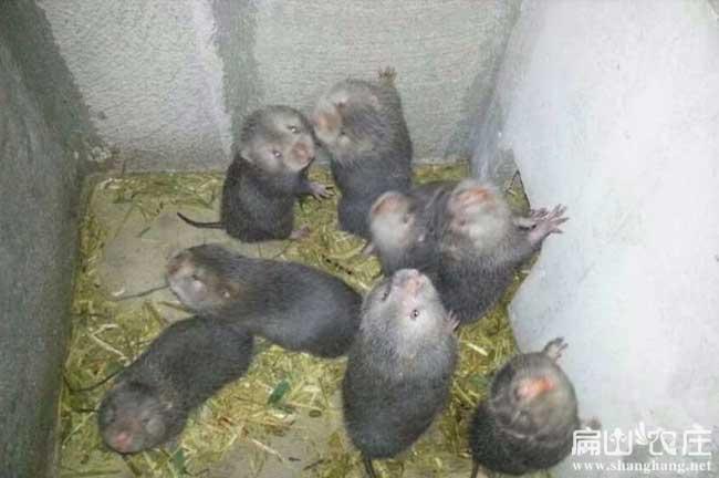 且末竹鼠养殖基地