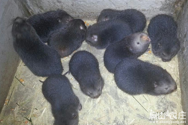 丽江竹鼠最大养殖基地